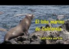 El lobo marino de California - The California Sea Lion | Recurso educativo 772549